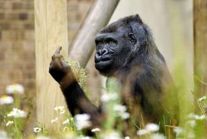 Monkey-Gives-Middle-Finger-2